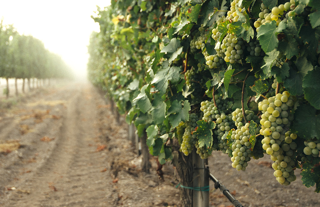 Get to Know the Wine World's Six Noble Grape Varieties | Verve Wine