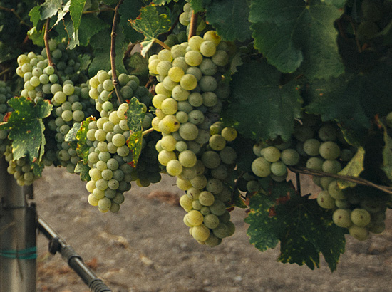 6-noble-grapes-th