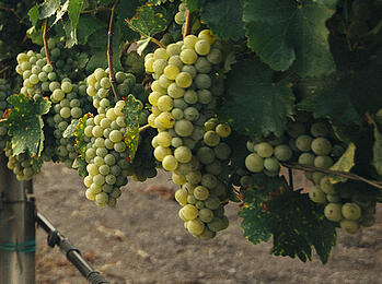 Get to Know the Wine World's Six 'Noble' Grape Varieties