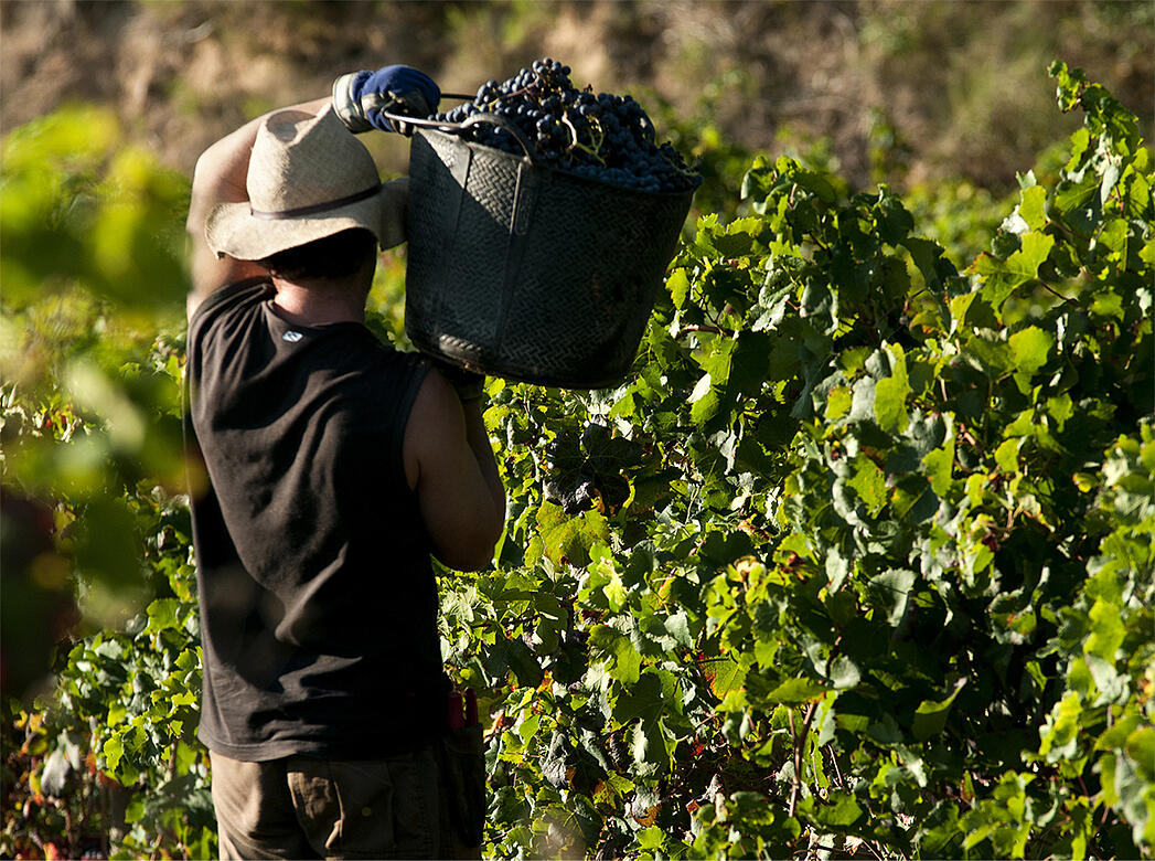 What 24 Hours of Harvest Looks Like - Verve Wine
