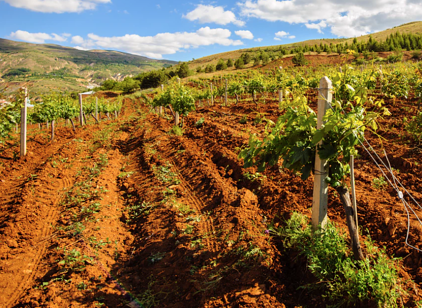 soil in vineyard