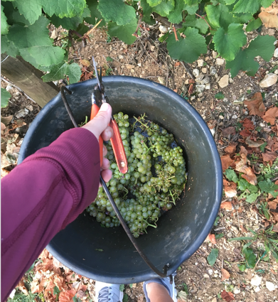 picking chardonnay grapes