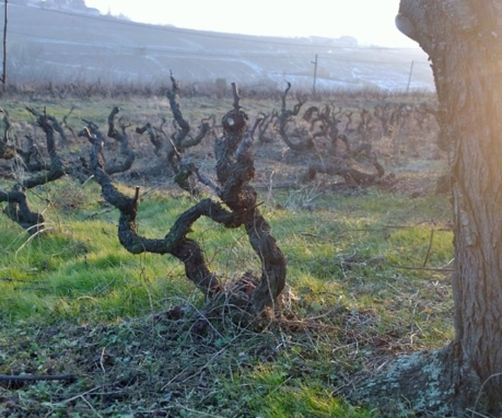 Brouilly vines